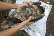 Ένα από τα δυο μικρά σε φωλιά του δάσους Δαδιάς στις 7 Αυγούστου 2013-πολύ μεγαλύτερο από τα μικρά της φωλιάς στη ΒΑ Ελλάδα/WWF