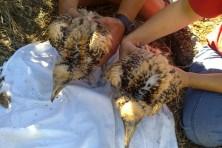 Οι δυο μικροί ασπροπάρηδες της φωλιάς στην ΒΑ Ελλάδα στις 5 Αυγούστου 2013/WWF