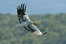 Alliance along 14 countries to ensure a safe migration flyway for the Egyptian Vulture