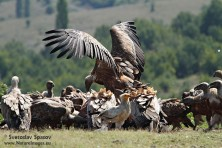 We'll celebrate the International Vulture Awareness Day with events in Haskovo, Madzharovo and Ruse