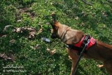 Antipoison Dog Units in Greece: Kuki found poison baits in Meteora region