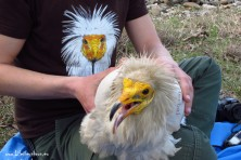 Aoos - an adult Egyptian vulture from Albania tagged in April 2015.