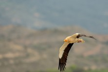The photo was caught in Catalonia in the province of Lleida Tremp Spain, in April 2016. Every year many Egyptan vultures is found in this sector, © Victor Alain
