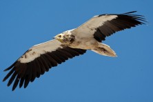 Egyptian Vulture, photo: Torsten Prohl