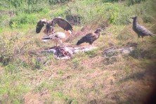 Successful first flights of the captive-bred Egyptian vultures in Bulgaria