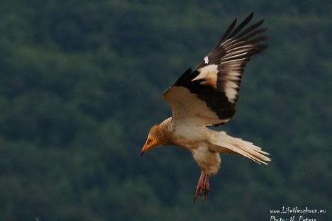 Egyptian vulture in Eastern Rhodopes (photo: Natasha Peters)