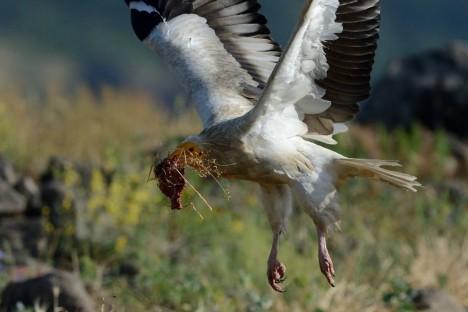 Supplementary feeding of Egyptian vultures in Bulgaria, © Pavel Stepanek