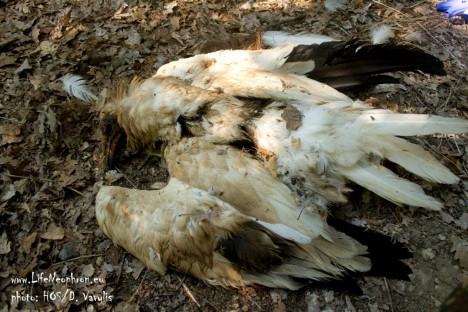 Egyptian vulture poisoned in Meteora. ©HOS/D. Vavylis