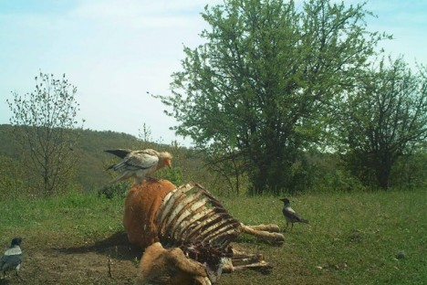 Egyptian Vulture captured with motion detection camera trap (Photo: LIFE10 NAT/BG/000152)