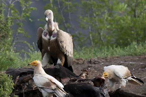 Egyptian Vulture and Griffon Vulture, photo: Svetoslav Mitkov