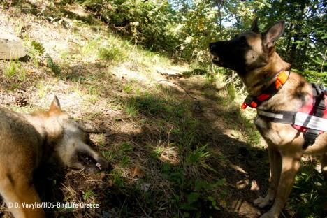 HOS antipoison dog unit. Photo: D. Vavylis/HOS