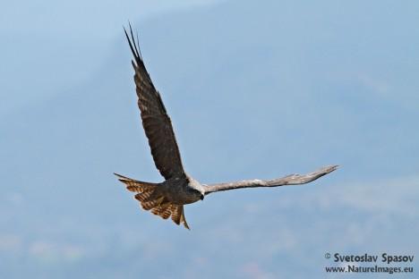 Black kite, photo: Svetoslav Spasov, www.NatureImages.eu