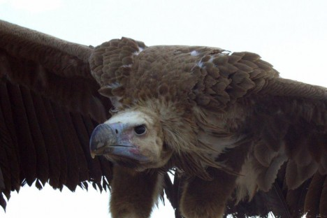 Photography: Lapped-faced vulture (Stoyan Nikolov)