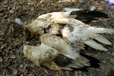 Poisoned Egyptian vulture