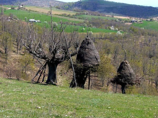 Oreinos oak trees