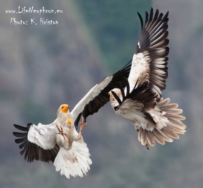 Two Egyptian vultures fighting in mid air. Photo by K. Hristov. www.LifeNeophron.eu