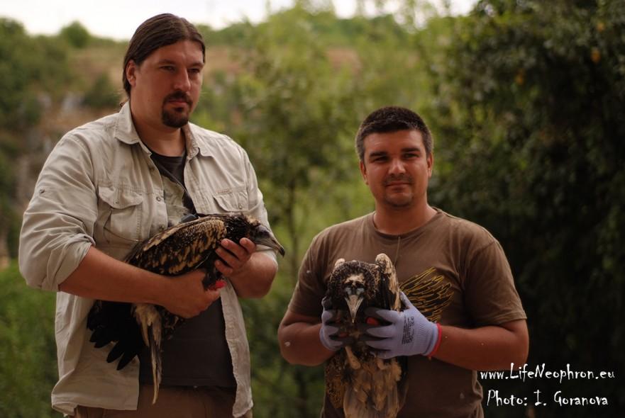Резултат с изображение за Експериментално пускане на млади египетски лешояди отгледани в плен в България