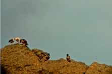 The two intruder chicks at the right of the family (digiscoping). WWF/J. Barreira