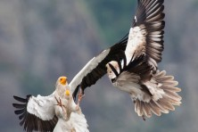 Unique project with Bitcoins supports BSPB activities to protect the Egyptian vulture