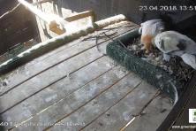 Двойката египетски лешояди в Спасителния център на Зелени Балкани с второ яйце!