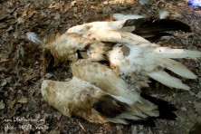 Poison strikes again in Meteora: Egyptian vultures one step closer to extinction in Greece