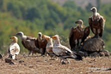 Vultures in Africa and Europe could face extinction within our lifetime warn conservationists