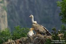 Egyptian vulture and Griffon vulture, © Svetoslav Spasov, www.NatureImages.eu