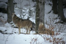 Wolves in Studen kladenec (photo: Rollin Verlinde)