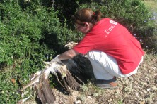 only the wings of vulture remained at the attitude it died (WWF/E. Navarrete)