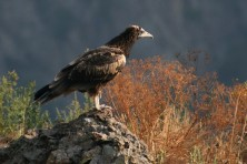 Bright breeding season 2017 in Bulgaria and new challenges for the Egyptian vultures in Greece