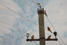 Lesser Kestrels / Falco naumanni / (BSPB/G.Gerdzhikov)