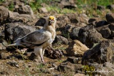 27 young Egyptian vultures have successfully left their nests in Bulgaria and Greece in 2015