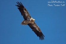 Fate of satellite-tracked Egyptian vultures in the Balkans