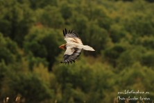 Spectacular decline of 7 % per year of the Egyptian Vultures' population in Eastern Europe