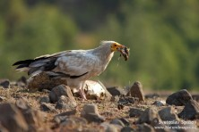 Egyptian vulture with food / S. Spasov