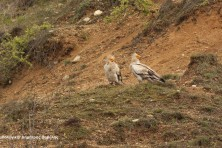Adult pair of Egyptian vultures