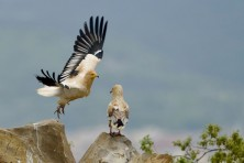 First results from the breeding season of the Egyptian vulture in Bulgaria and Greece
