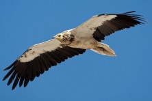 Subadult Egyptian Vulture / T. Prohl