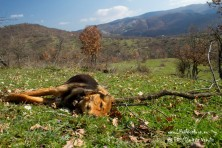 Poisoned carcasse of a dog in Antichassia region