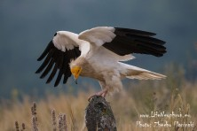 Bound Eagles, Evil Vultures and Cuckoo Horses