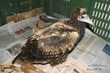 Egyptian vulture found injured in Preveza, Western Greece