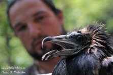 Young Egyptian vulture was tagged with a satellite transmitter in Eastern Rhodopes