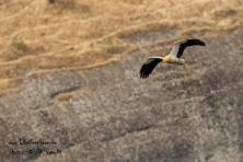 Egyptian vulture in Meteora. ©HOS/D. Vavylis