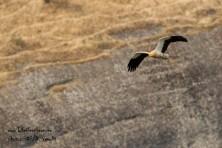 Egyptian vulture in Meteora. ©HOS/D. Vavylis