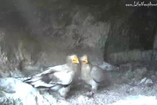 Update from the Egyptian vultures' nest in Provadia