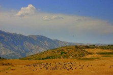 The sheep and goats are the commonest livestock in Albania and their numbers increase in the last years (BSPB/S.Nikolov)