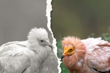 The latest issue of the BSPB magazine For Birds is dedicated to the Egyptian Vulture