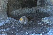 Egyptian vulture in the nest with videocamera