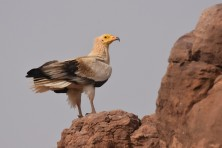 First data from the field studies of the Egyptian Vulture population in Niger