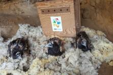 Поставяне на малките в изкуственото гнездо (сн. И. Клисуров / Зелени Балкани)